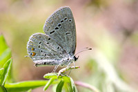 Eastern Tailed Blue (Everes comyntas), worn