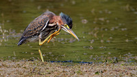 Green Heron (Butorides virescens) Immature