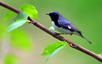 Black-thraoted Blue Warbler