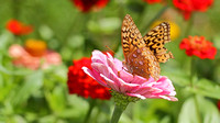 Great Spangled Fritillary (Speyeria cybele) on Zenia