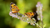 Pearl Crescent (Phyciodes tharos) Courtship (male left, female right)