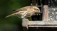 Purple Finch (Haemorhous purpureus), female