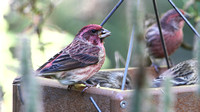 Purple Finch (Haemorhous purpureus), male