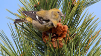 White-winged Crossbill (Loxia leucoptera)
