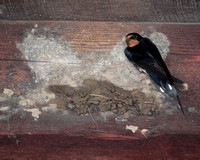 Barn Swallow ... Who took my nest?