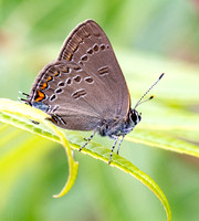 Edwards' Hairstreak (Satyrium edwardsii)