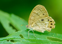 Eyed Brown Butterfly (Satyrodes eurydice), ventral view