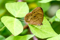 Appalachian Brown Butterfly (Satyrodes appalachia)
