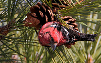 White-winged Crossbill (Loxia leucoptera), male