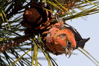 White-winged Crossbill (Loxia leucoptera), 1st year male