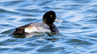 Greater Scaup (Aythya marila), male