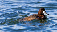 Greater Scaup (Aythya marila), female