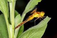 Meadowhawk Species Dragonfly (Sympertrium sp.), immature male (flash)