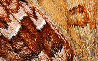 Eastern Pine Elfin (Callophrys niphon), close-up