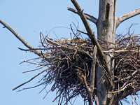 Farthest Nest Digiscoped at 1,200mm (2,400mm with DMC-G1 Crop Factor)