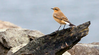 Northern Wheatear (enanthe oenanthe)