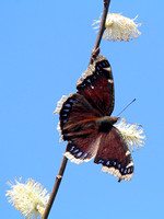 Mourning Cloak (Nymphalis antiopa), ventral view