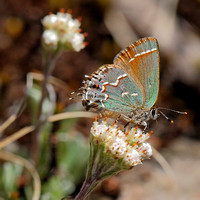 "Juniper Hairstreak (Callophrys gryneus), ""Olive"" form male on Pussytoes"