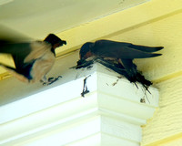 Barn Swallows Building a Residential Nest
