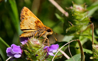 Zabulon Skipper (Poanes zabulon), male