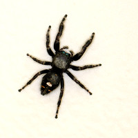 Bold or Daring Jumping Spider (Phidippus audax)