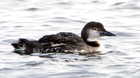 Common Loon (Gavia immer), winter plumage