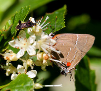 White M Hairstreak (Parrhasius m-album)