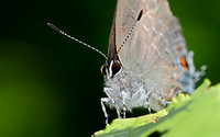 Banded Hairstreak (Satyrium calanus), shows Labial Palps