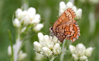 Eastern Pine Elfin (Callophrys niphon) on Pussytoes
