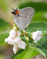 Gray Hairstreak (Strymon melinus), torn but alive thanks to its false antennae