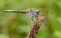 Blue Dasher (Pachydiplax longipennis) Dragonfly, immature male
