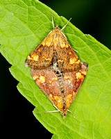 Orange-spotted Mint Moth (Pyrausta orphisalis) #5058, mating