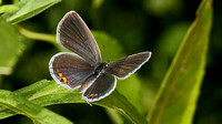 Eastern Tailed Blue (Cupido comyntas), female
