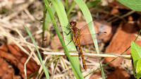 Meadow Hawk Species Dragonfly (Sympetrum species), immature male