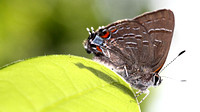 Banded Hairstreak (Satyrium calanus), backlit