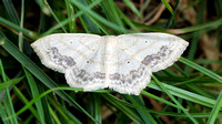 Large Lace-border (Scopula limboundata) Moth