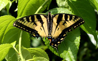 Eastern Tiger Swallowtail (Papilio glaucus), lucky to be alive & still beautiful