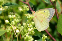 Clouded Sulphur (Colias philodice), worn, looking like a Pink-edged Sulphur (Colias interior)