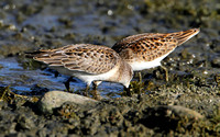 Semipalmated & Least Sandpiper