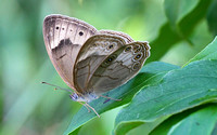 Appalachian Brown (Satyrodes appalachia)