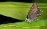 Banded Hairstreak (Satyrium calanus) blowing a bubble