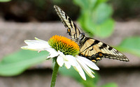 Canadian Tiger Swallowtail (Papilio canadensis), shows continuous forewing margin band