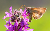 Common Looper Moth (Autographa precationis)
