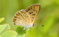 Bog Copper (Lycaena epixanthe) aka Cranberry Copper
