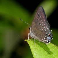 Banded Hairstreak (Satyrium calanus)