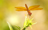 Eastern Amberwing Dragonfly (Perithemis tenera)