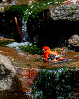 Scarlet Tanager Bathing