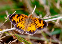 Pearl Crescent, (Phyciodes tharos)