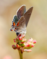 Gray Hairstreak (Strymon melinus) ovipositing & showing its rather mean looking false head