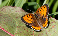 Bronze Copper (Lycaena hyllus), female, dorsal view